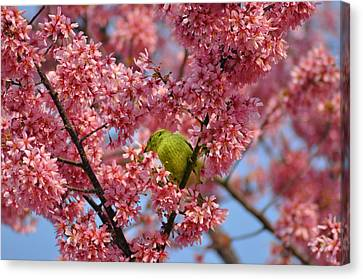 Cherry Blossom Time Canvas Print by Bill Cannon