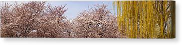 Cherry Blossom Trees And Willow Tree Canvas Print by Panoramic Images