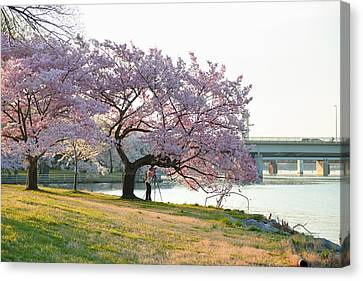 Cherry Blossoms 2013 - 003 Canvas Print by Metro DC Photography