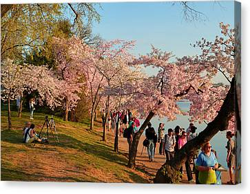 Cherry Blossoms 2013 - 007 Canvas Print by Metro DC Photography