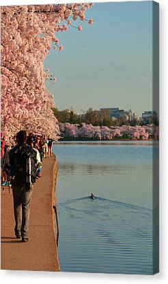 Cherry Blossoms 2013 - 008 Canvas Print by Metro DC Photography