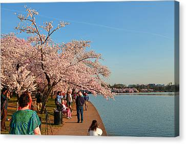 Cherry Blossoms 2013 - 010 Canvas Print by Metro DC Photography