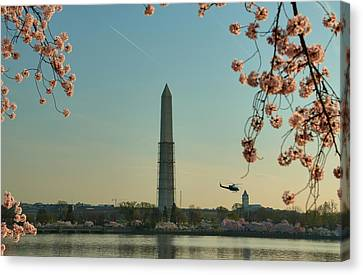 Cherry Blossoms 2013 - 012 Canvas Print by Metro DC Photography