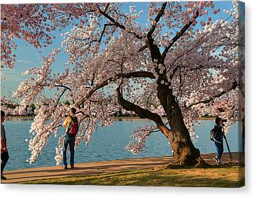 Cherry Blossoms 2013 - 028 Canvas Print by Metro DC Photography