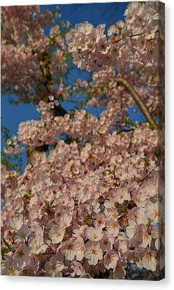 Cherry Blossoms 2013 - 034 Canvas Print by Metro DC Photography