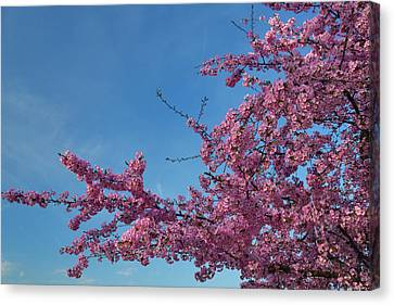 Cherry Blossoms 2013 - 037 Canvas Print by Metro DC Photography