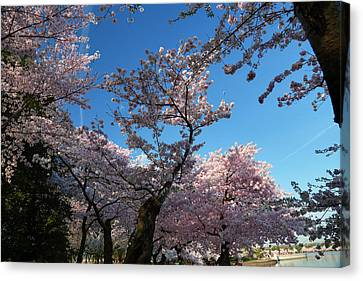 Cherry Blossoms 2013 - 042 Canvas Print by Metro DC Photography