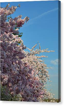 Cherry Blossoms 2013 - 046 Canvas Print by Metro DC Photography