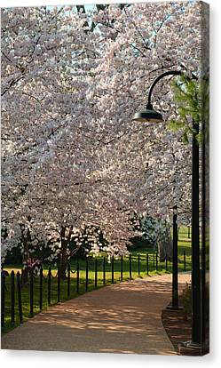 Cherry Blossoms 2013 - 060 Canvas Print by Metro DC Photography