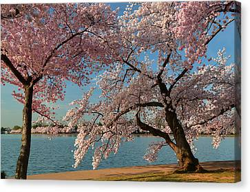 Cherry Blossoms 2013 - 063 Canvas Print by Metro DC Photography