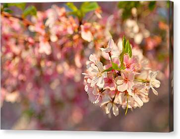 Cherry Blossoms 2013 - 072 Canvas Print by Metro DC Photography