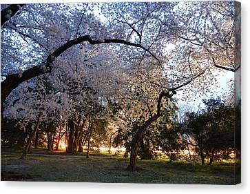 Cherry Blossoms 2013 - 101 Canvas Print by Metro DC Photography