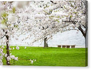 Cherry Blossoms On The Shore Of Fort Mchenry Canvas Print by Susan  Schmitz