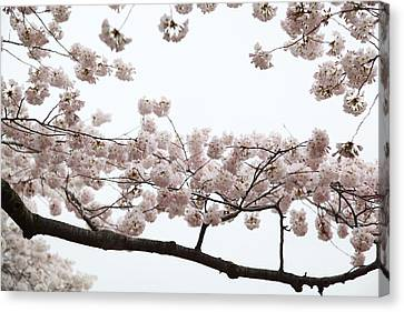 Cherry Blossoms - Washington Dc - 0113103 Canvas Print by DC Photographer