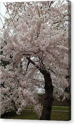 Cherry Blossoms - Washington Dc - 0113118 Canvas Print by DC Photographer
