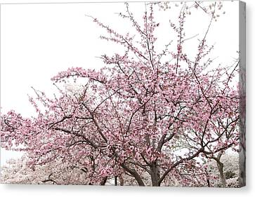 Cherry Blossoms - Washington Dc - 0113123 Canvas Print by DC Photographer