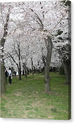 Cherry Blossoms - Washington Dc - 0113131 Canvas Print by DC Photographer
