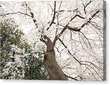 Cherry Blossoms - Washington Dc - 0113136 Canvas Print by DC Photographer