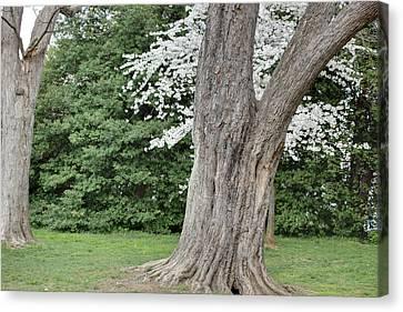 Cherry Blossoms - Washington Dc - 011351 Canvas Print by DC Photographer