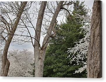 Cherry Blossoms - Washington Dc - 011353 Canvas Print by DC Photographer