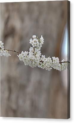 Cherry Blossoms - Washington Dc - 011355 Canvas Print by DC Photographer