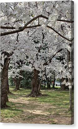 Cherry Blossoms - Washington Dc - 011382 Canvas Print by DC Photographer