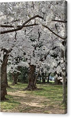 Cherry Blossoms - Washington Dc - 011384 Canvas Print by DC Photographer