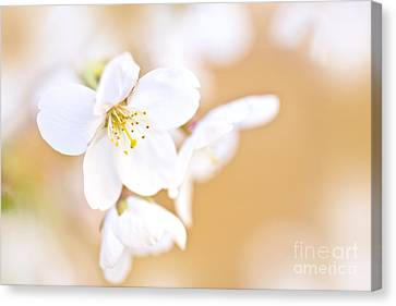 Cherry Tree Flower Canvas Print by Delphimages Photo Creations