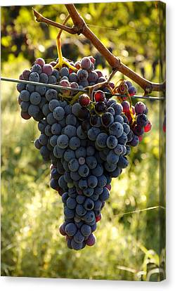 Chianti Grapes Canvas Print by Norman Pogson