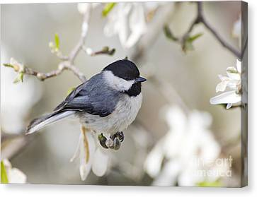 Chickadee And Magnolia - D008970 Canvas Print by Daniel Dempster