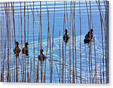 Chicks In Water With Reeds On The Outer Banks I Canvas Print by Dan Carmichael