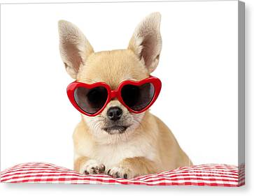 Chihuahua In Heart Sunglasses Dp813 Canvas Print by Greg Cuddiford