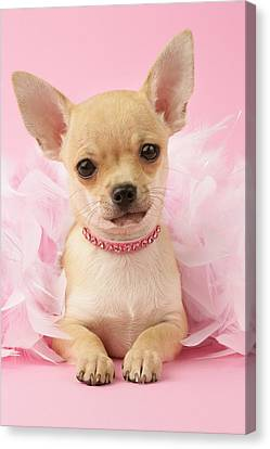 Chihuahua With Feather Boa Canvas Print by Greg Cuddiford