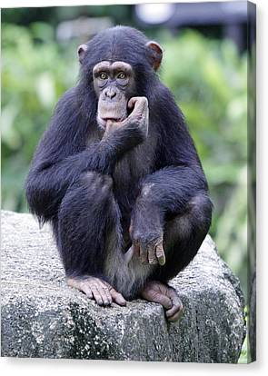 Chimp Sucking His Thumb Canvas Print by Shoal Hollingsworth