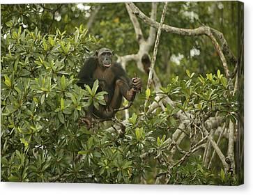 Chimpanzee In Tree Canvas Print by Jean-Michel Labat