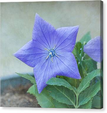 Chinese Bell Flower Canvas Print by Kim Hojnacki