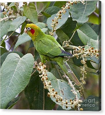 Chiriqui Conure 2 Canvas Print by Heiko Koehrer-Wagner