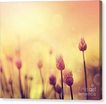 Chives Flowers Canvas Print by Mythja  Photography