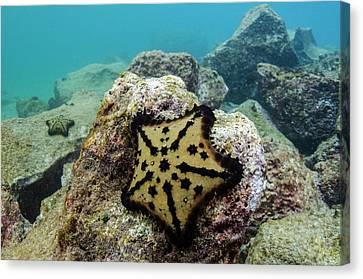 Chocolate Chip Starfish (nidorelllia Canvas Print by Pete Oxford