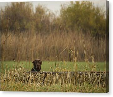 Chocolate Lab In The Field Canvas Print by Jean Noren