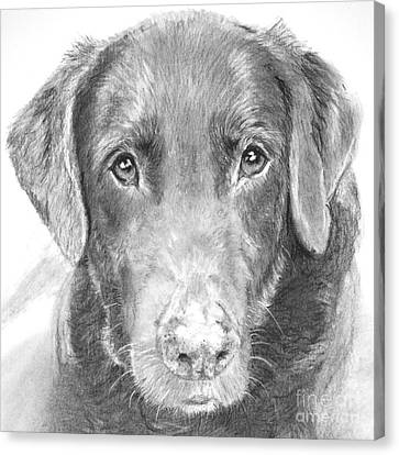 Chocolate Lab Sketched In Charcoal Canvas Print by Kate Sumners