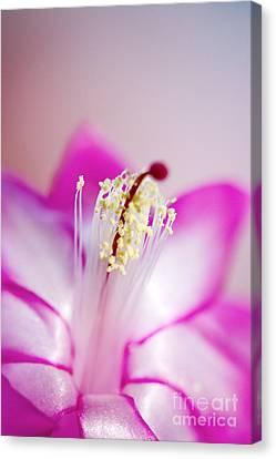 Christmas Cactus Schlumbergera Sp Canvas Print by Cheryl Power