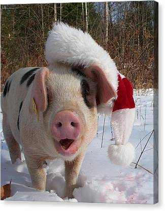 Christmas Pig Canvas Print by Samantha Howell