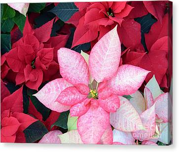 Christmas Pointsettia Canvas Print by Kathleen Struckle