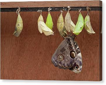 Chrysalises Of Large Owlet Butterfly Canvas Print by Thomas Wiewandt