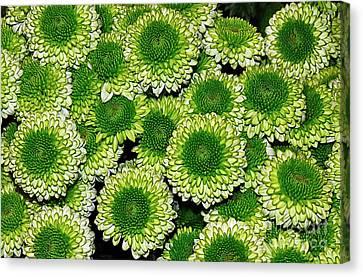 Chrysanthemum Green Button Pompon Kermit Canvas Print by Kaye Menner