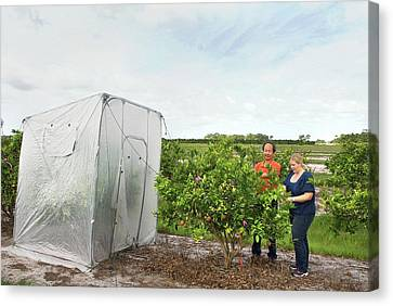 Citrus Greening Disease Treatment Canvas Print by Marco Pitino/us Department Of Agriculture