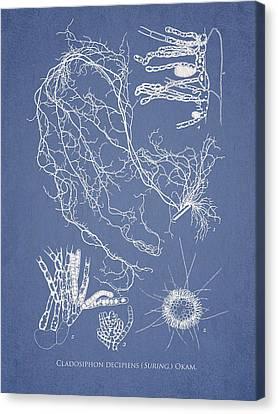 Cladosiphon Decipiens Canvas Print by Aged Pixel