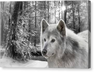 Clarks Wolf Canvas Print by Lori Deiter