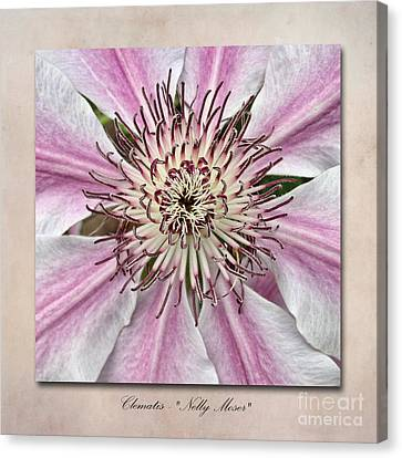 Clematis Nelly Moser Canvas Print by John Edwards